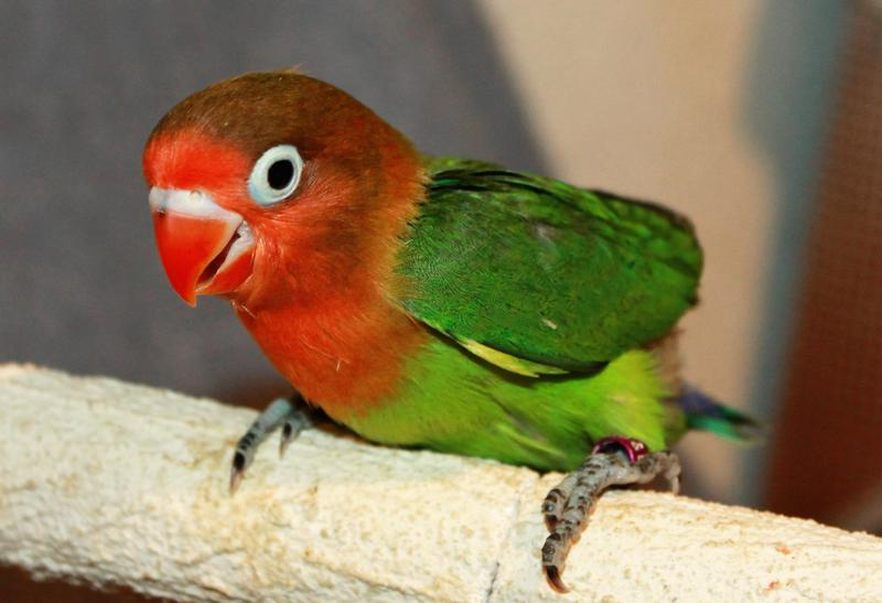 Green Love Birds Images