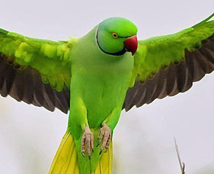 Indian Ring Neck Parrot For Sale